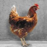 Híbrido de gallina ponedora Hi-Sex Brown.