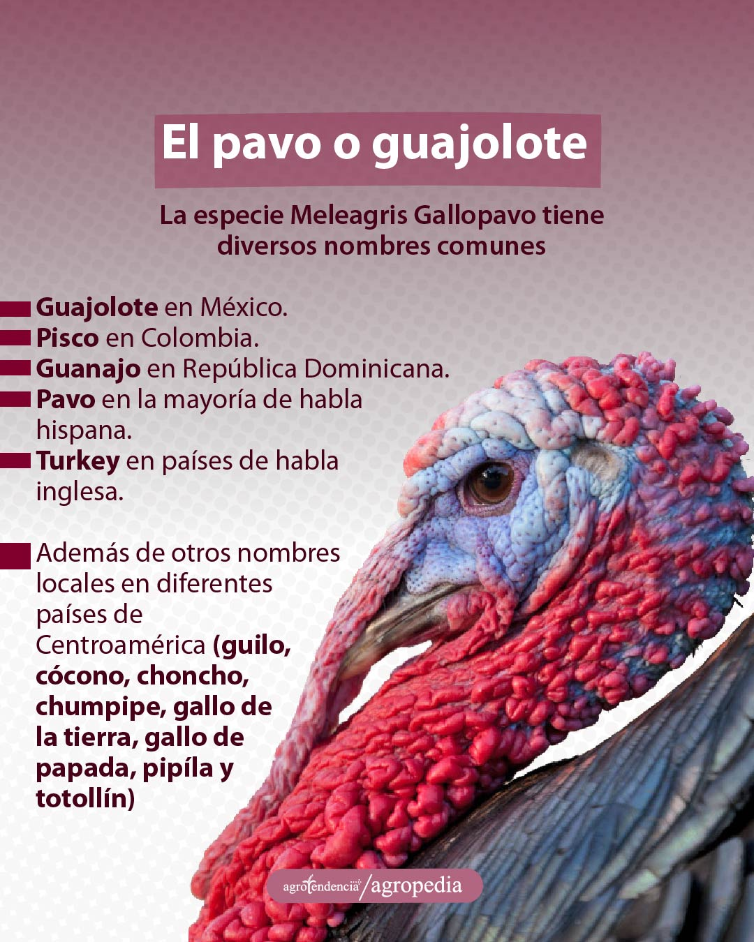 Meleagris Gallopavo
