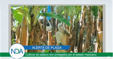 Cultivos de plátano son protegidos por México